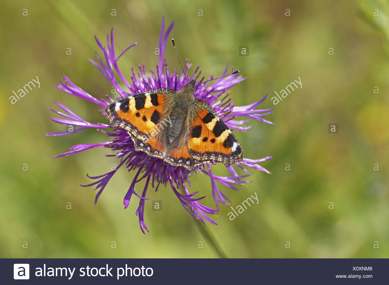 Small Totoiseshell Aglais urticae nectaring Greater Knapweed Centaurea scabiosa summer Gloucestershire wings colour butterflies - Stock Image