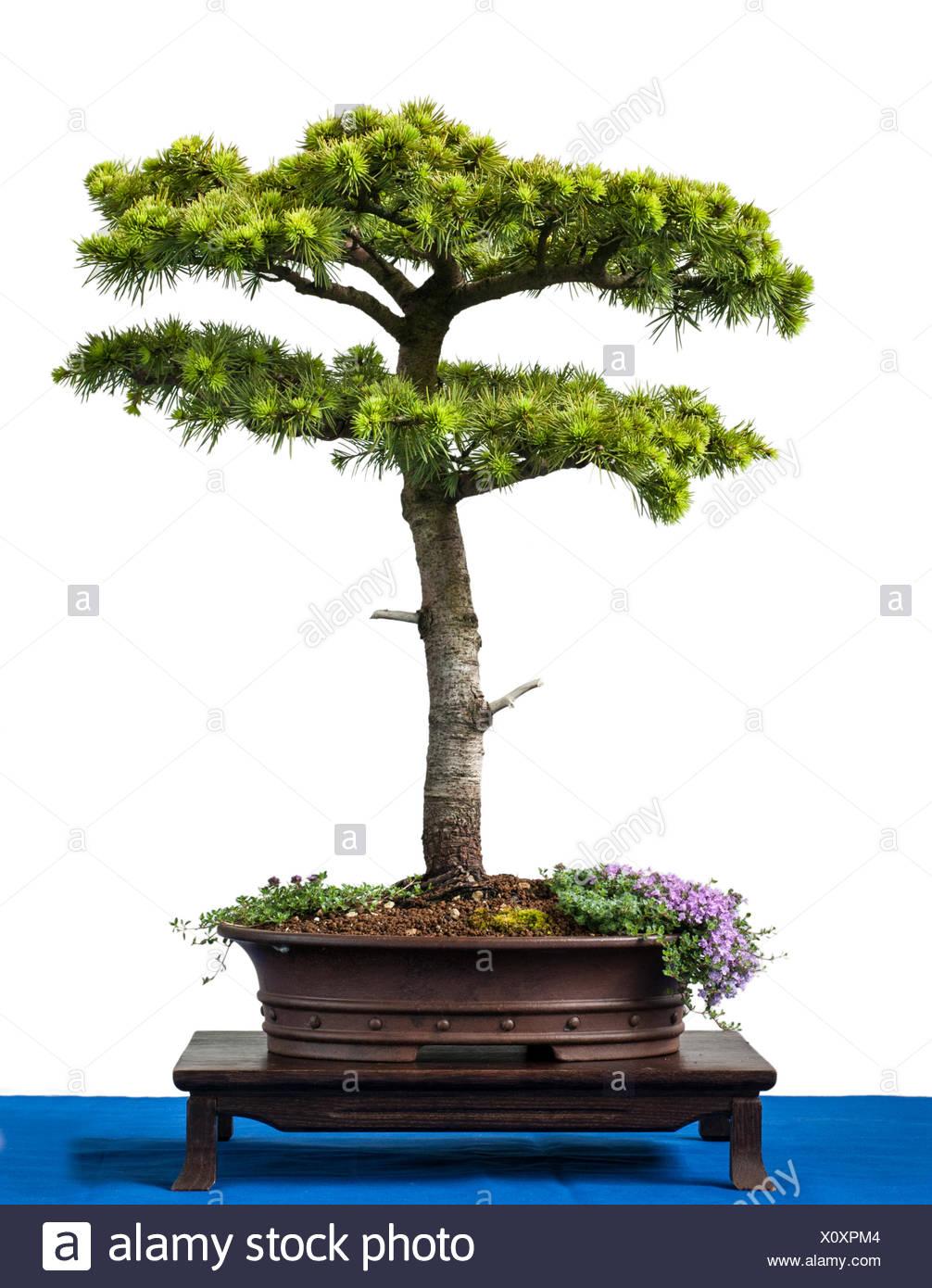 Conifer cyprus cedar as bonsai tree - Stock Image