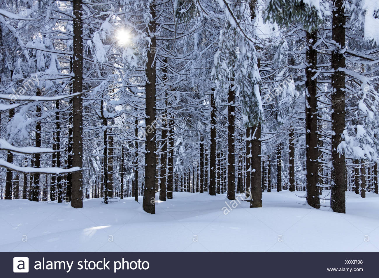 Rennsteig, forest, spruces, snow, sun, - Stock Image