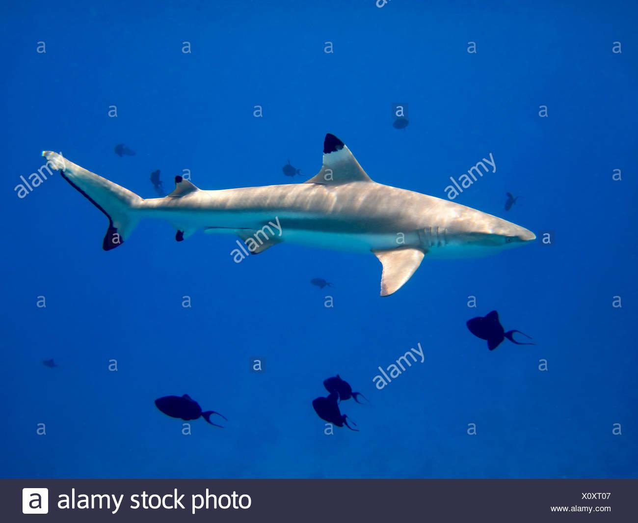 prey booty dive - Stock Image