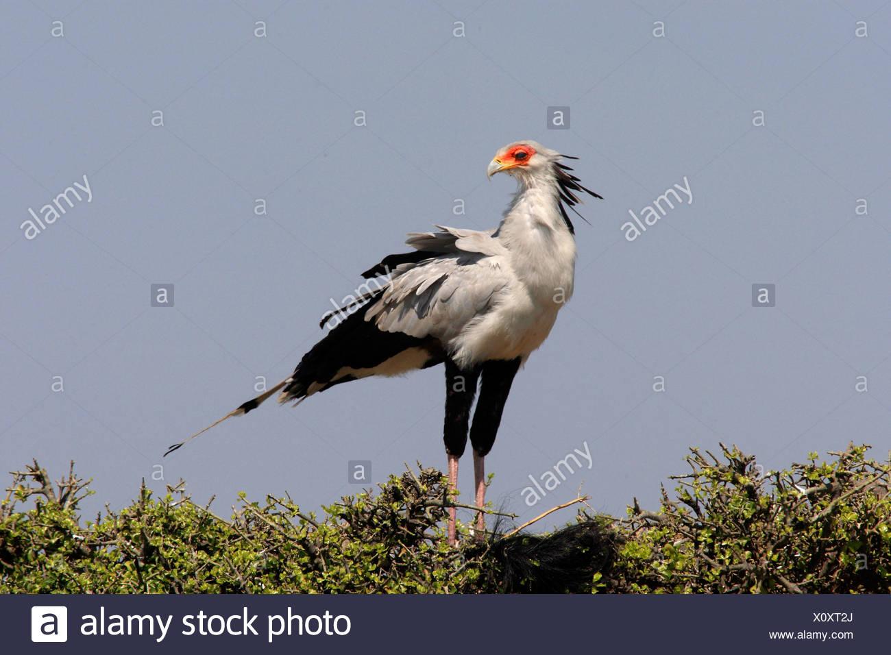 secretary bird, Sagittarius serpentarius (Sagittarius serpentarius), sitting on a tree top, Kenya, Masai Mara National Park - Stock Image