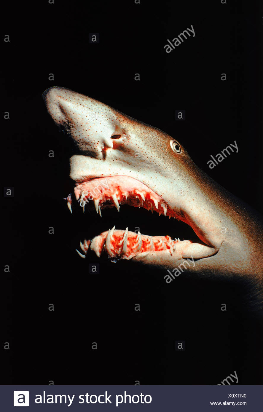 Sand tiger shark (Carcharias taurus). Caribbean - Stock Image