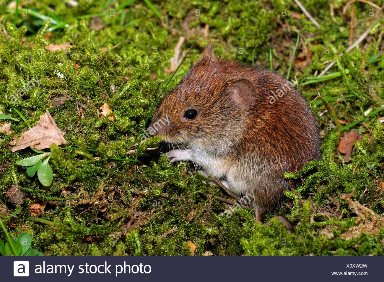 Bank vole - mouse - (Clethrionomys glareolus) (Myodes glareolus) - Stock Image