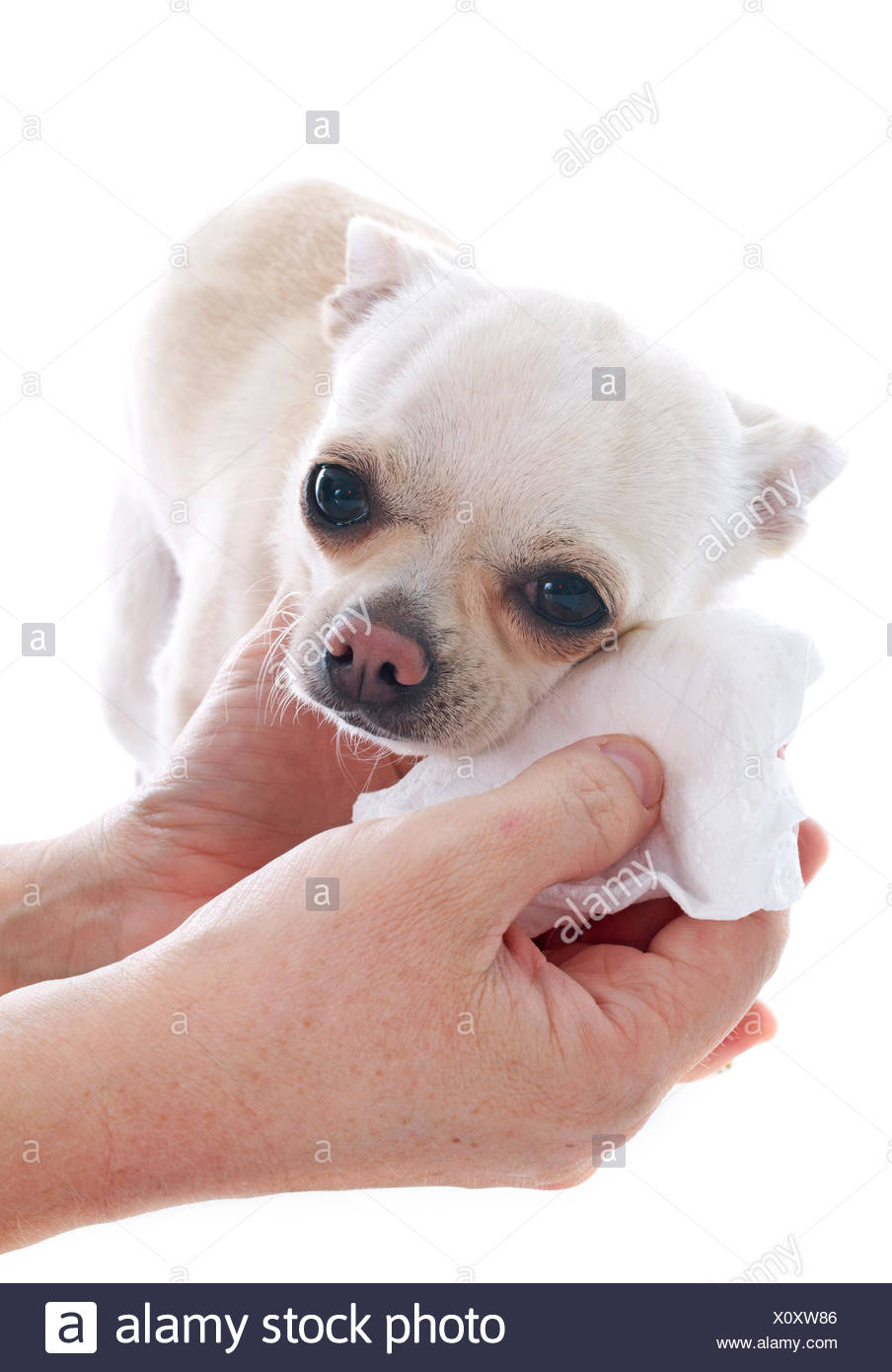 gromming on a chihuahua in front of white background - Stock Image
