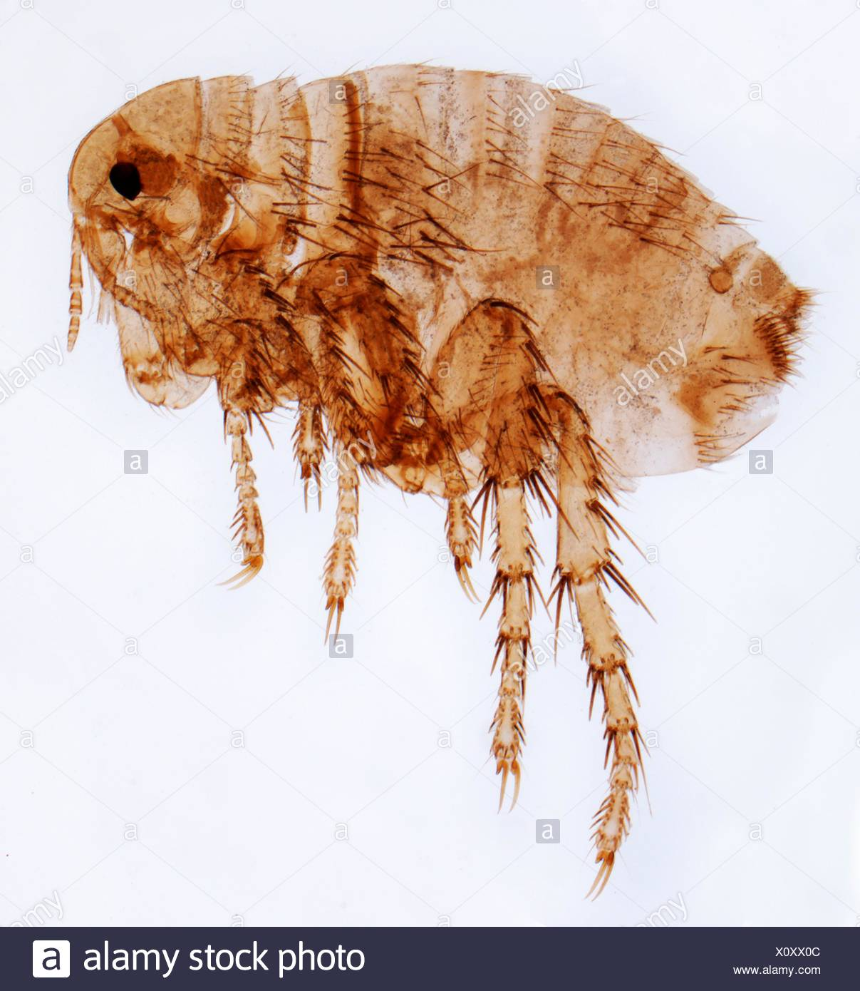 Human flea. Light micrograph (LM) of a female human flea (Pulex irratans). Fleas are wingless and flattened from side to side, which makes them difficult to dislodge in hair. They have enlarged hind legs for jumping. Fleas are a vector for various diseases. The female lacks the distinctinctive genitalia of the male flea. Magnification: x15 when printed at 10 centimetres wide. - Stock Image