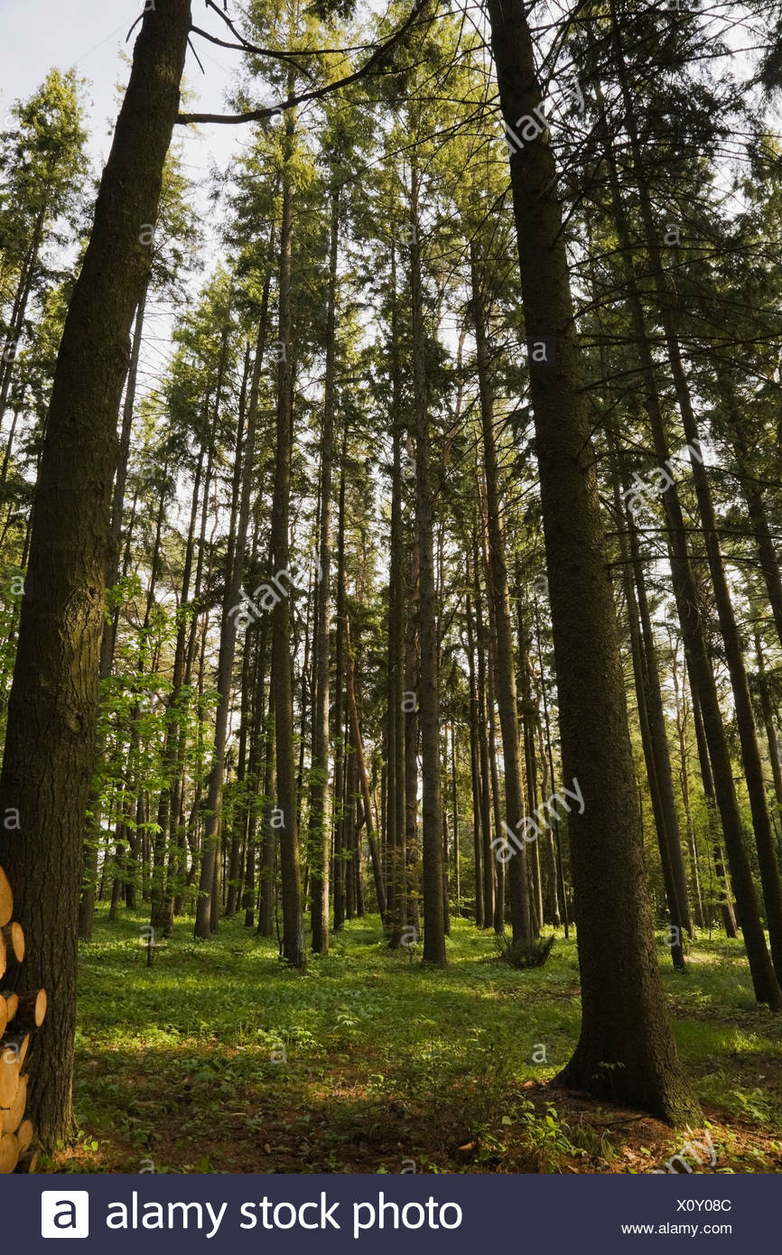Forest of tall evergreen trees in spring, Mauricie, Quebec, Canada - Stock Image