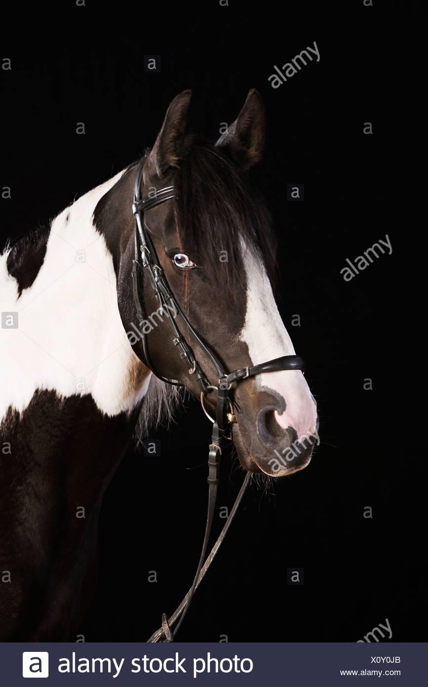 portrait of skewbald horse - Stock Image