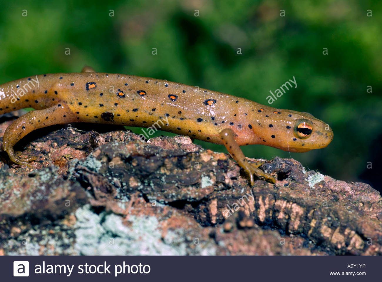eft, red-spotted newt, red eft, eastern newt (Notophthalmus viridescens), on a branch Stock Photo