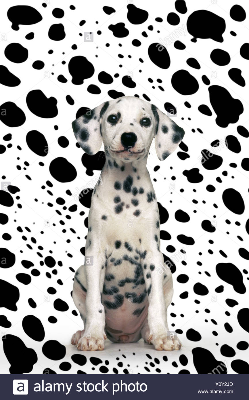 Dalmatian puppy sitting in front of dalmatian pattern - Stock Image