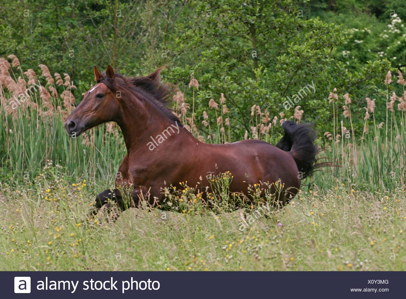 galloping latvian warmblood - Stock Image