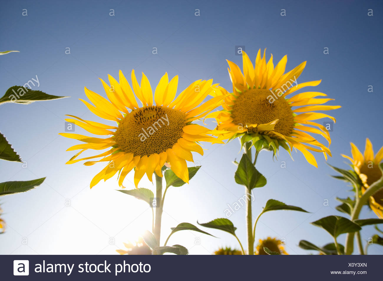 Sun shining in blue sky behind vibrant sunflowers - Stock Image