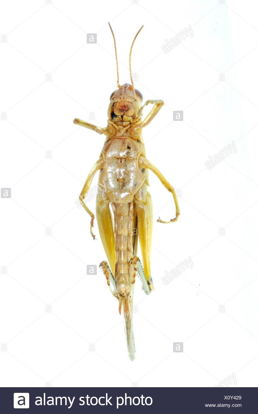 pest insect oriental migratory locust - Stock Image