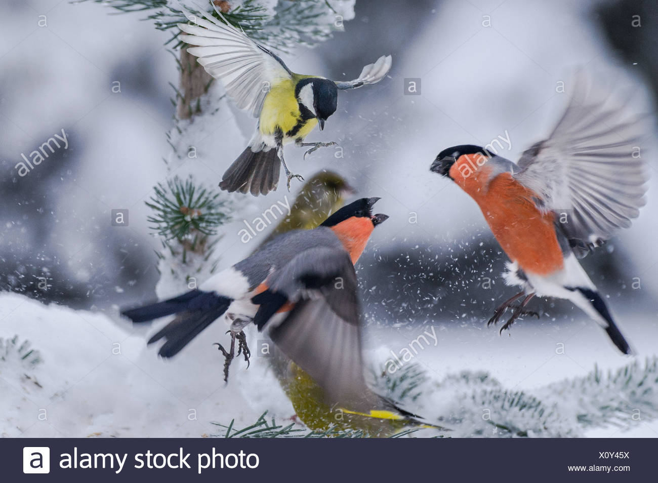 Bullfinches confronting on snowcapped tree - Stock Image