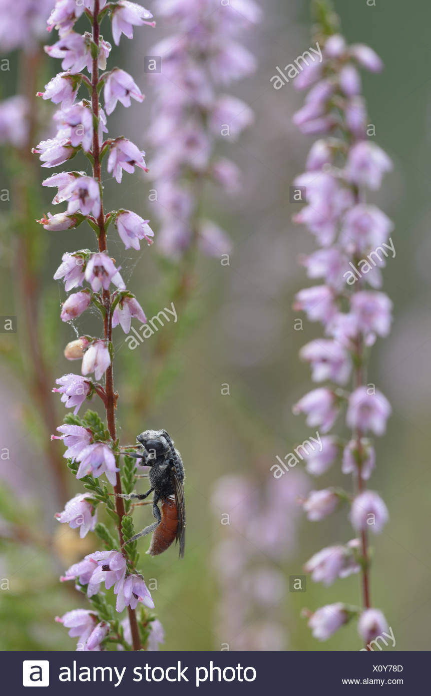 Bee (Sphecodes albilabris), male Stock Photo