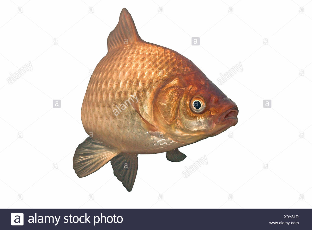 rendered photo of a gibel carp against a white background Stock Photo