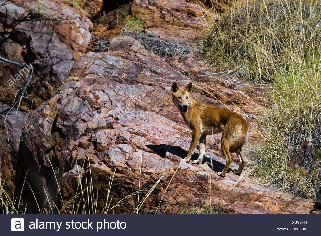 A cautious Dingo on a desert cliff. - Stock Image