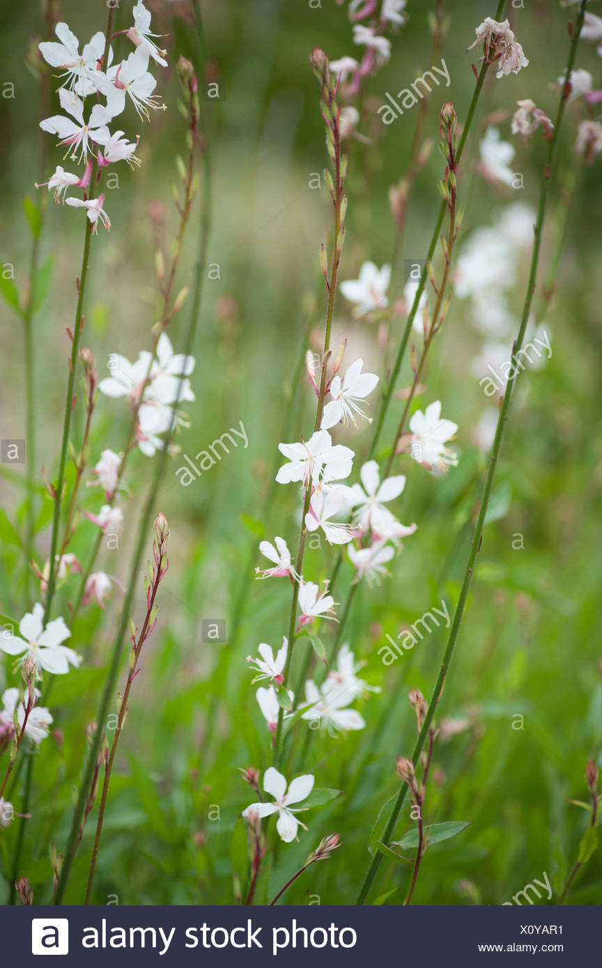 Gaura, Gaura lindheimeri, White subject. - Stock Image