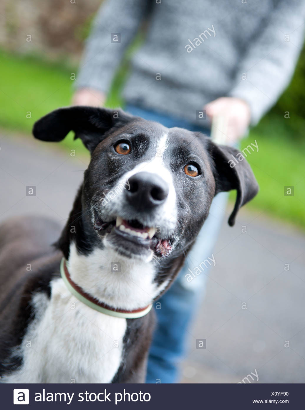 portrait of black dog walking on leash - Stock Image