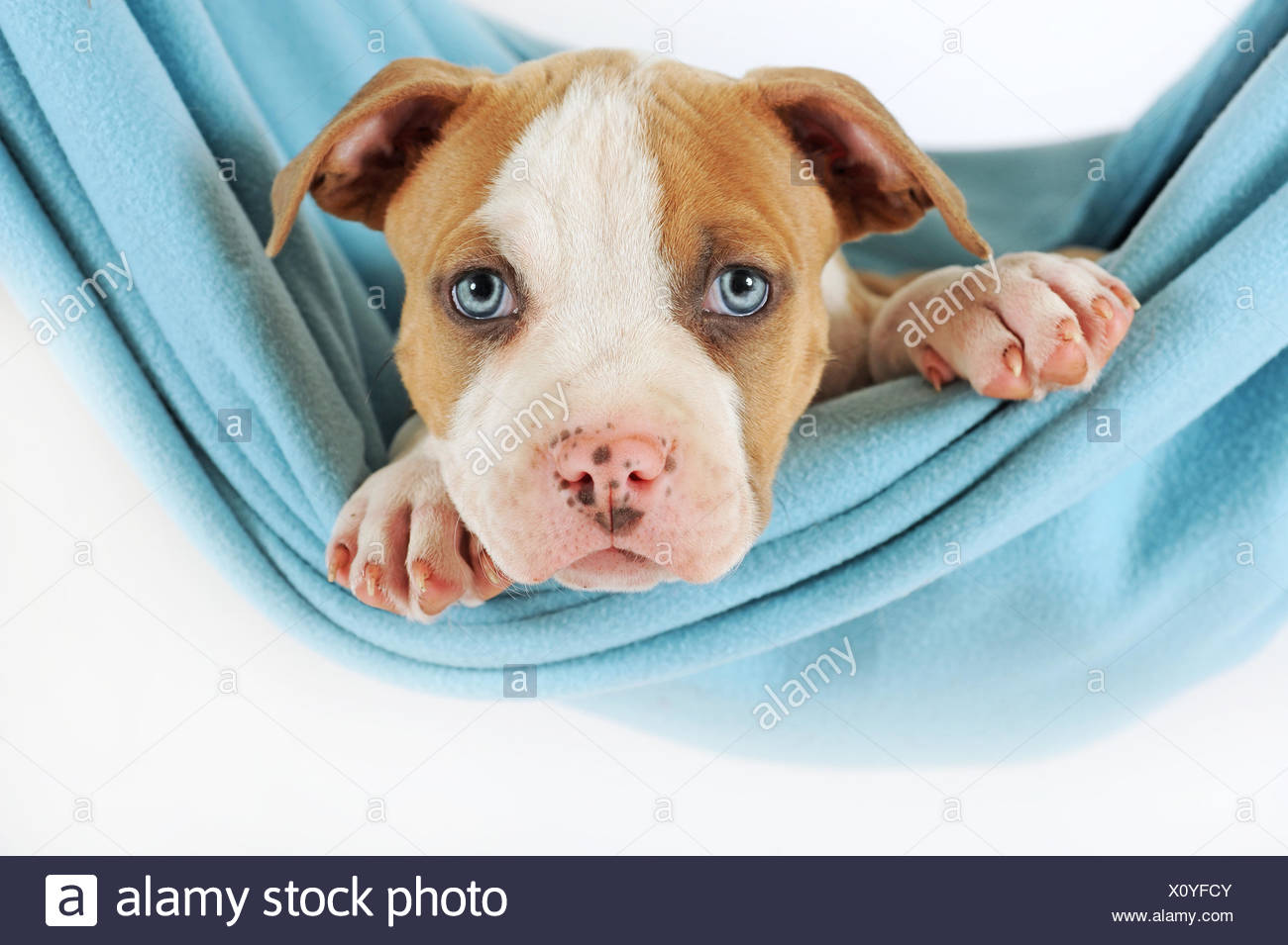 American Staffordshire Terrier, Puppy, 7 weeks old, fawn-white - Stock Image