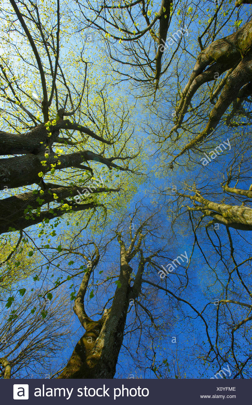 trees from below - Stock Image