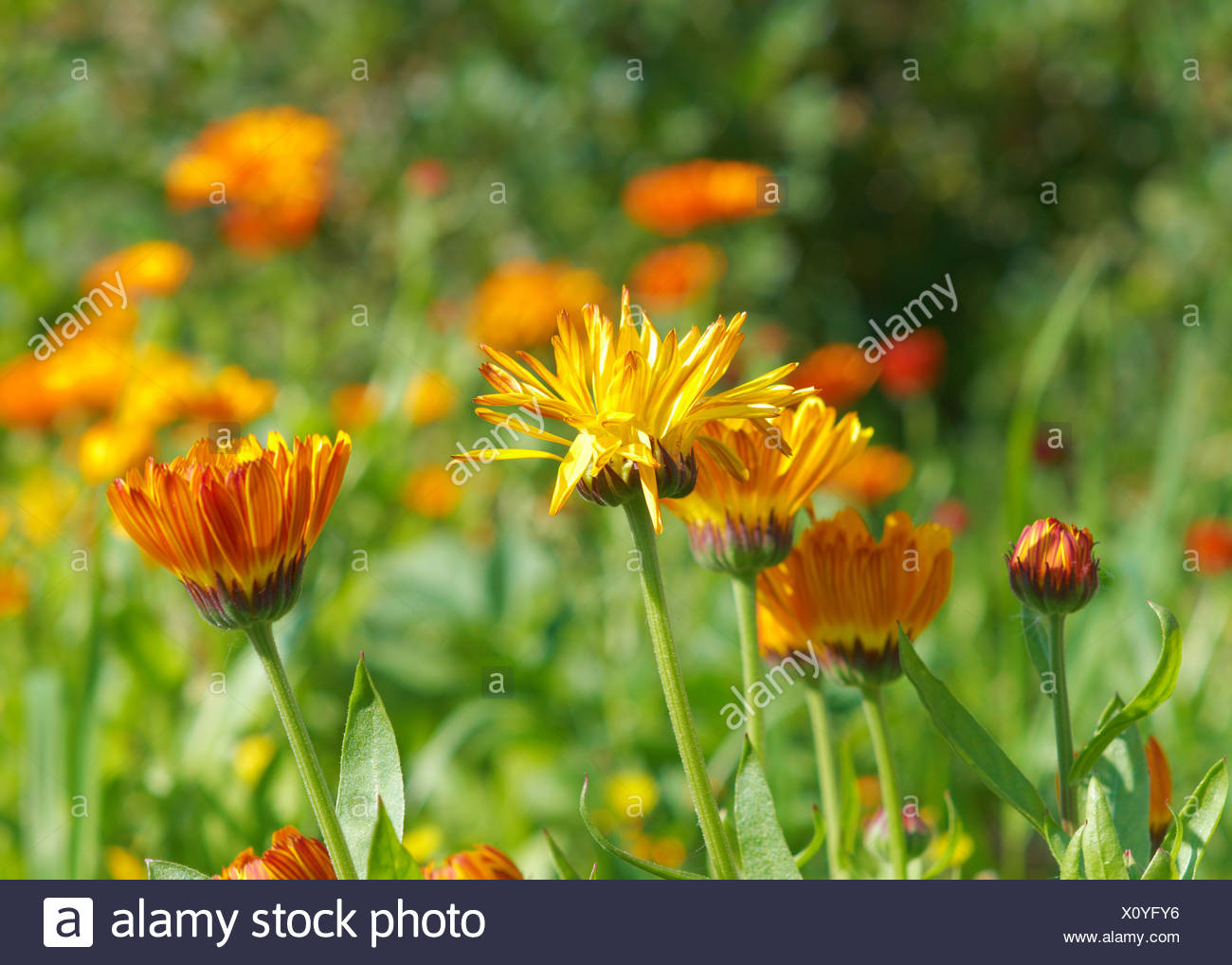 pot marigold (Calendula officinalis) fiel - Stock Image