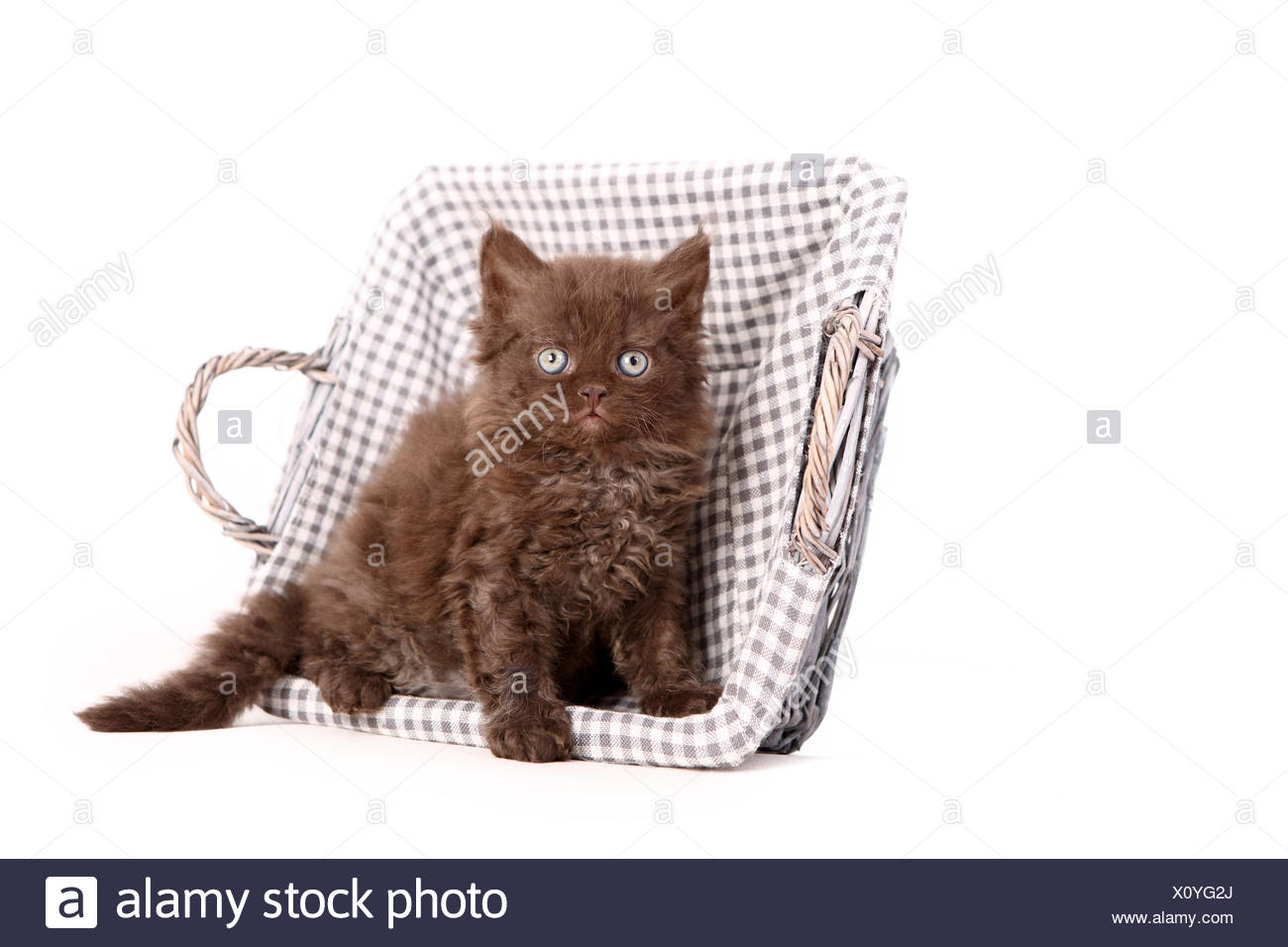Selkirk Rex. Kitten (6 weeks old) sitting in a basket. Studio picture against a white background. Germany - Stock Image