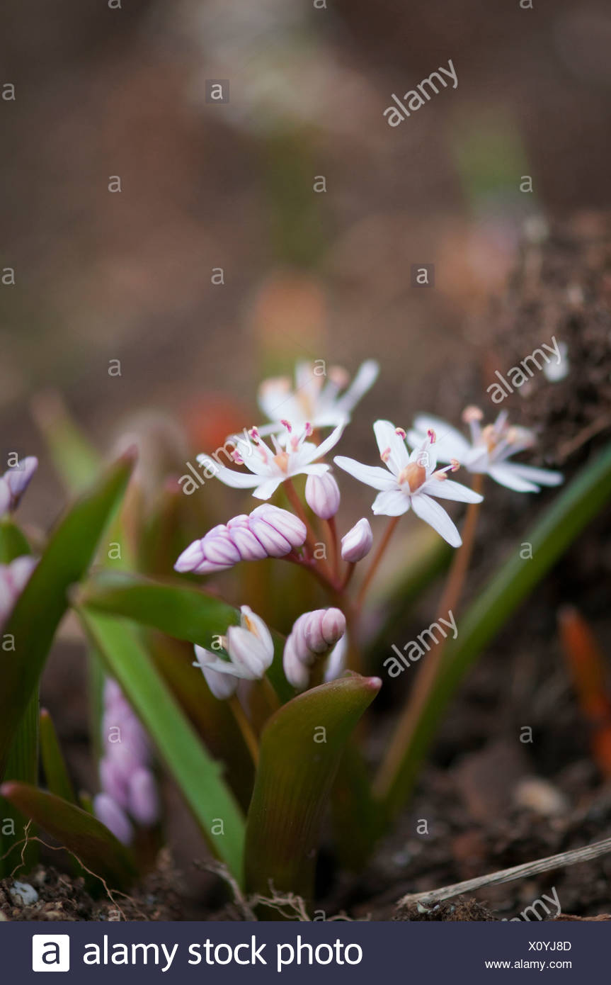 Scilla bifolia 'Rosea', Squill, Rosy squill, White. Stock Photo