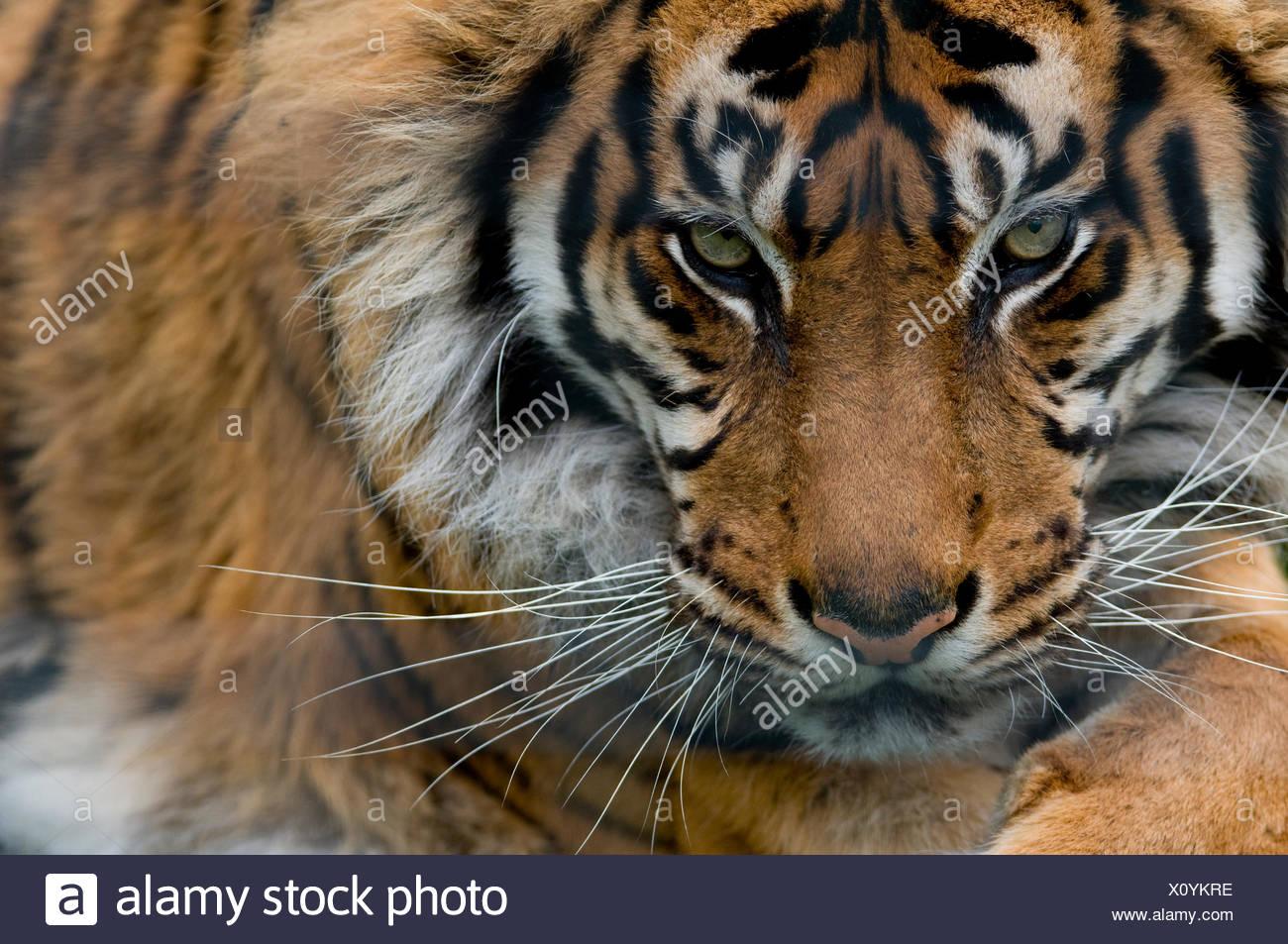 Sumatran tiger (Panthera tigris sumatrae) close-up head portrait, captive Stock Photo