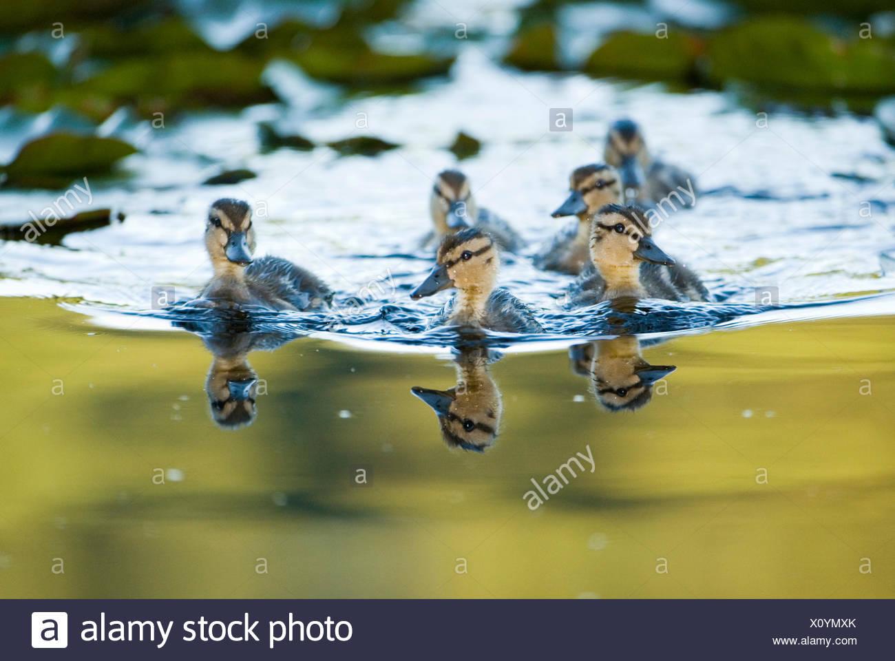 Mallard ducklings, Anas platyrhynchos, in the water. - Stock Image