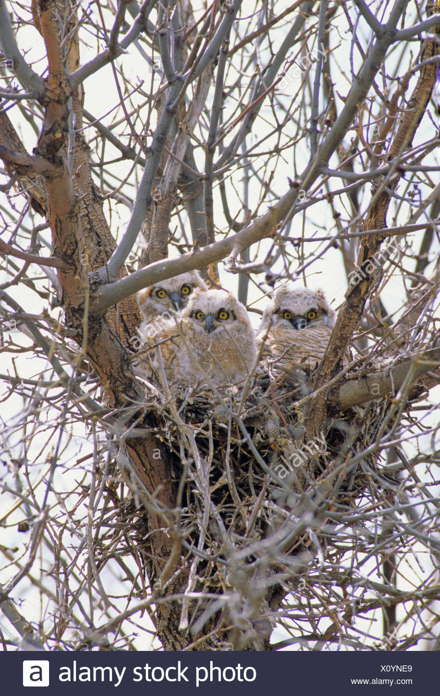 Great Horned Owl (Bubo virginianus) Nestlings wait for parents to return with food. Spring, Sasketchewan, Canada. - Stock Image