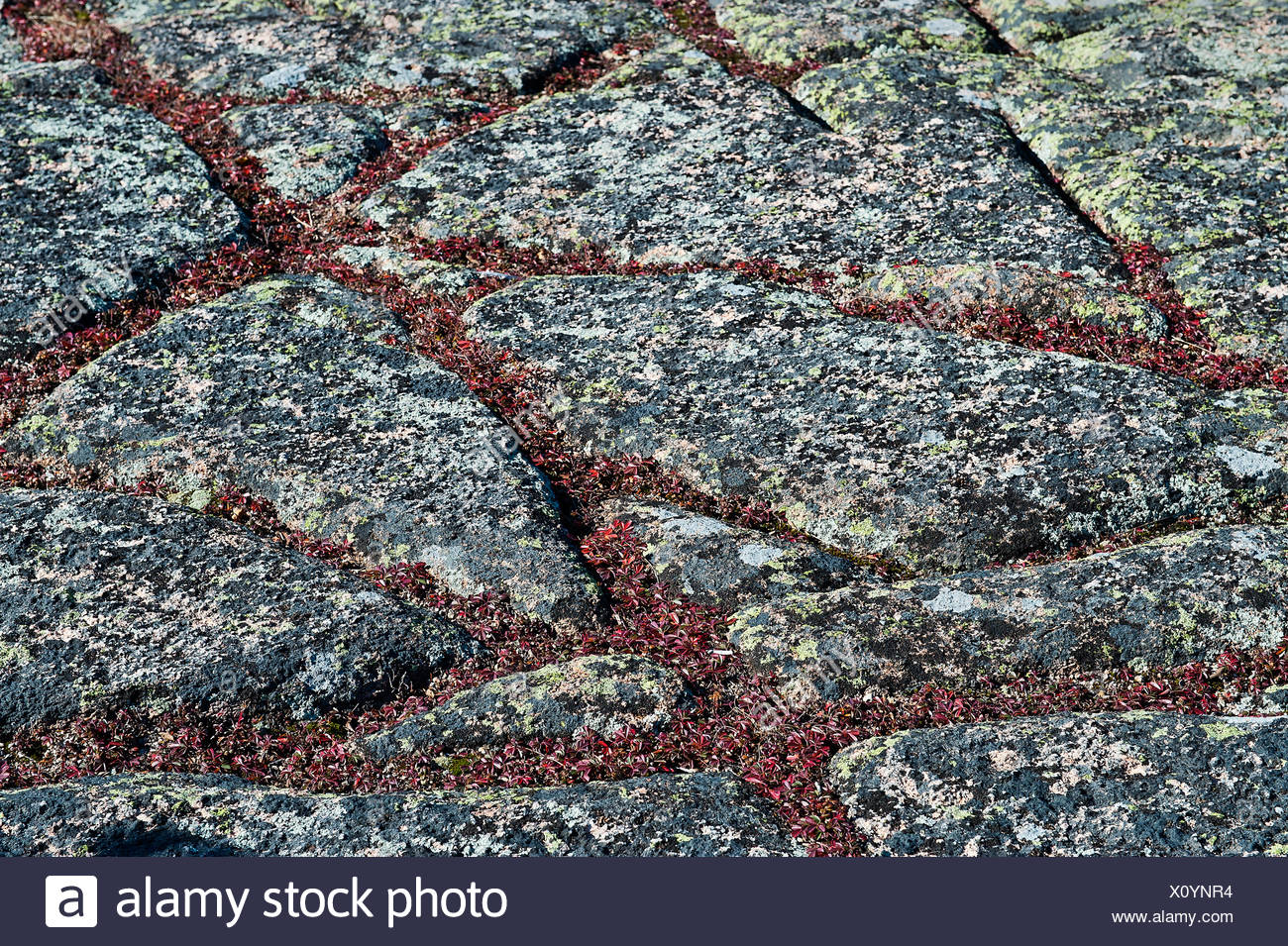 Ground cover and granite, Cadillac Mountain, Maine, USA - Stock Image