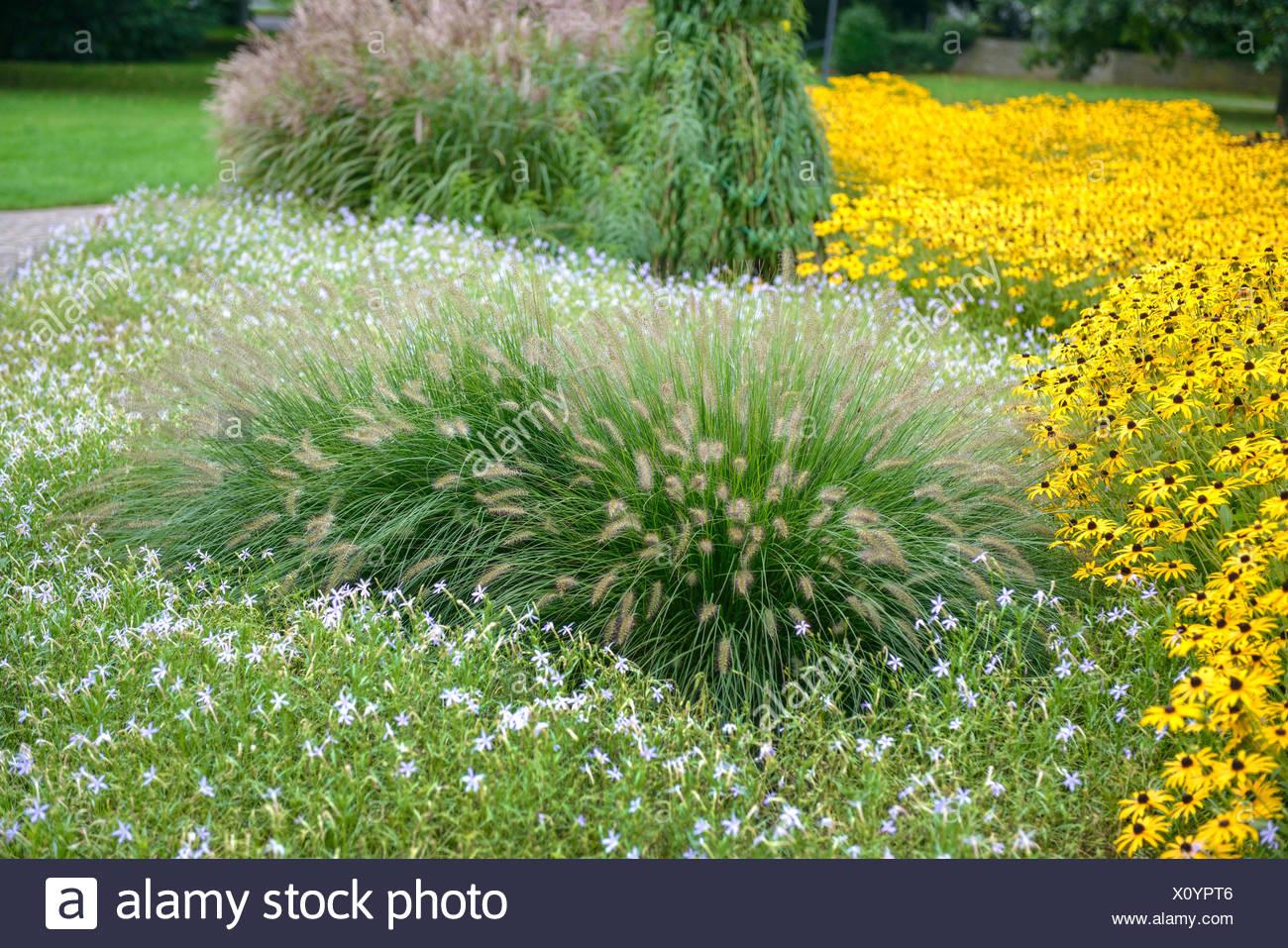 fountain grass (Pennisetum alopecuroides 'Hameln', Pennisetum alopecuroides Hameln), cultivar Hameln, with Rudbeckia, Germany, North Rhine-Westphalia - Stock Image