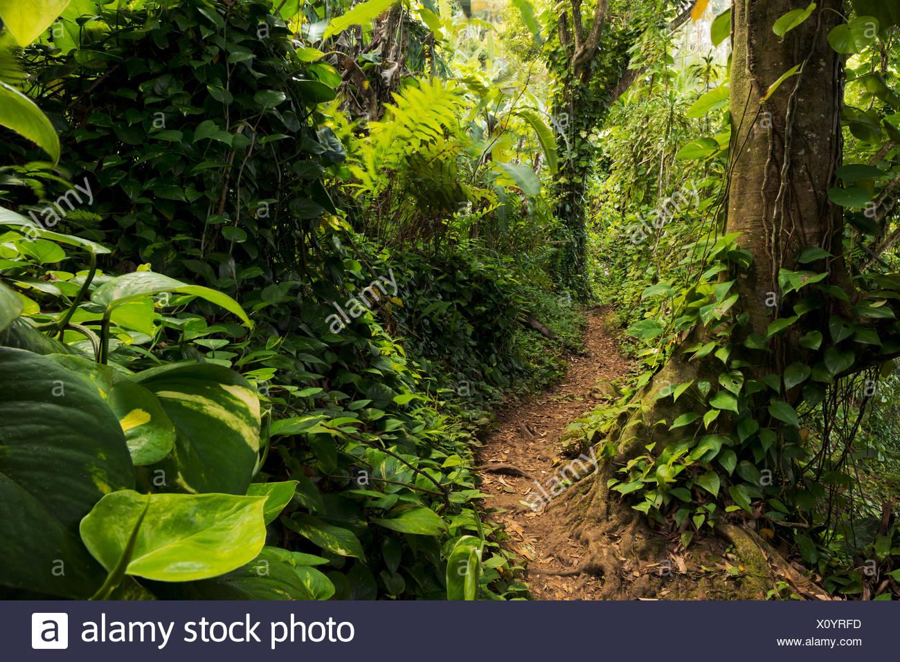 The Caribbean, Guadeloupe, island, jungle, rainforest, dreamlike, path, way, plants, leaves, tree, green, lush, lianas, vegetation, mystical, scenery, - Stock Image