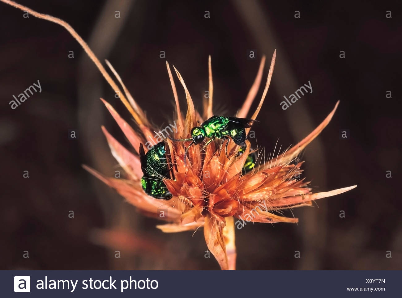 Cuckoo Wasps. Family: Chrysidae. Torna fort, Pune, Maharashtra, India. - Stock Image