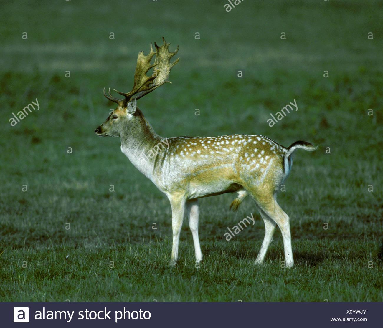 Fallow Deer - Dama dama - Stock Image