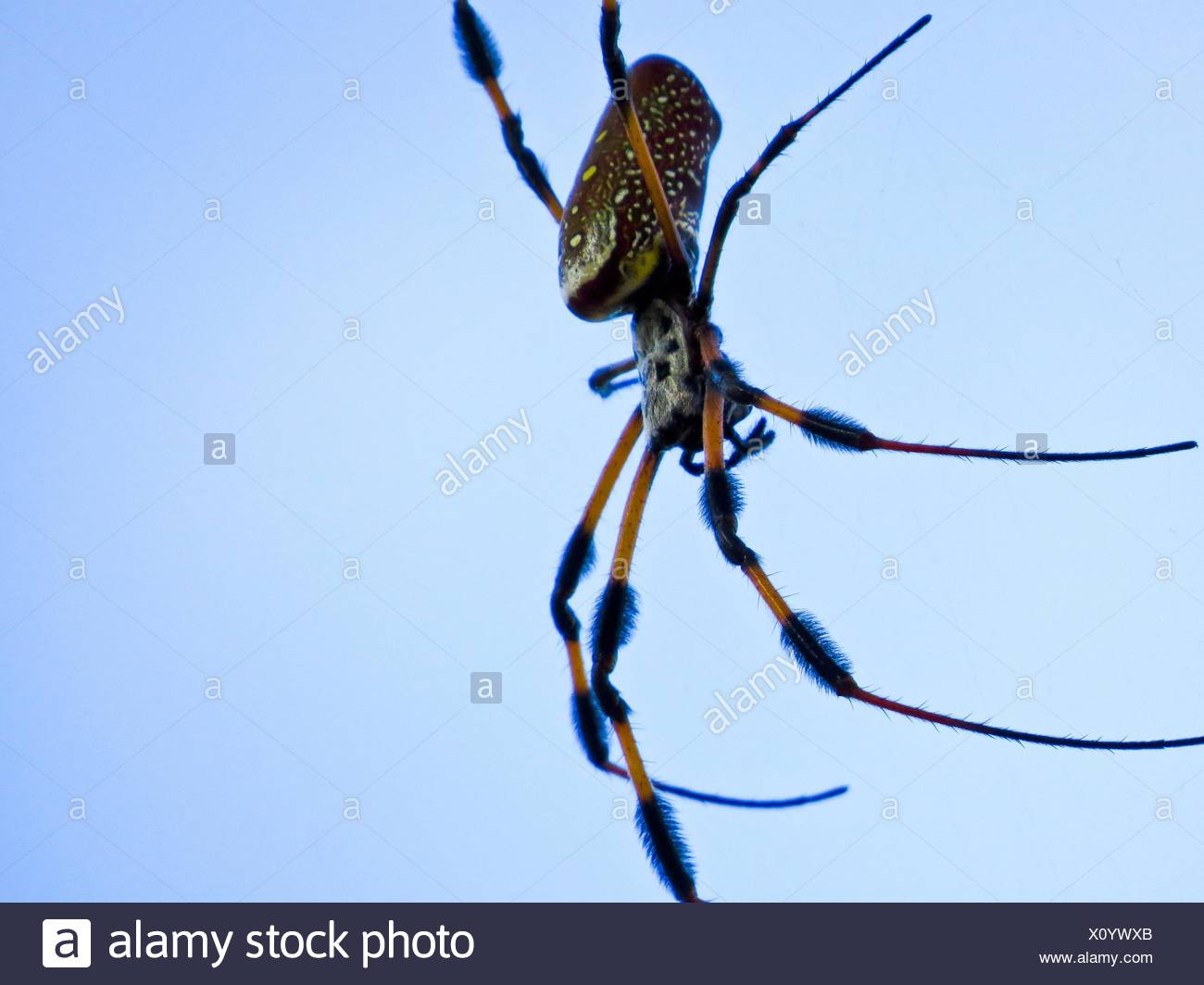 golden silk orb-weaver spider - Stock Image