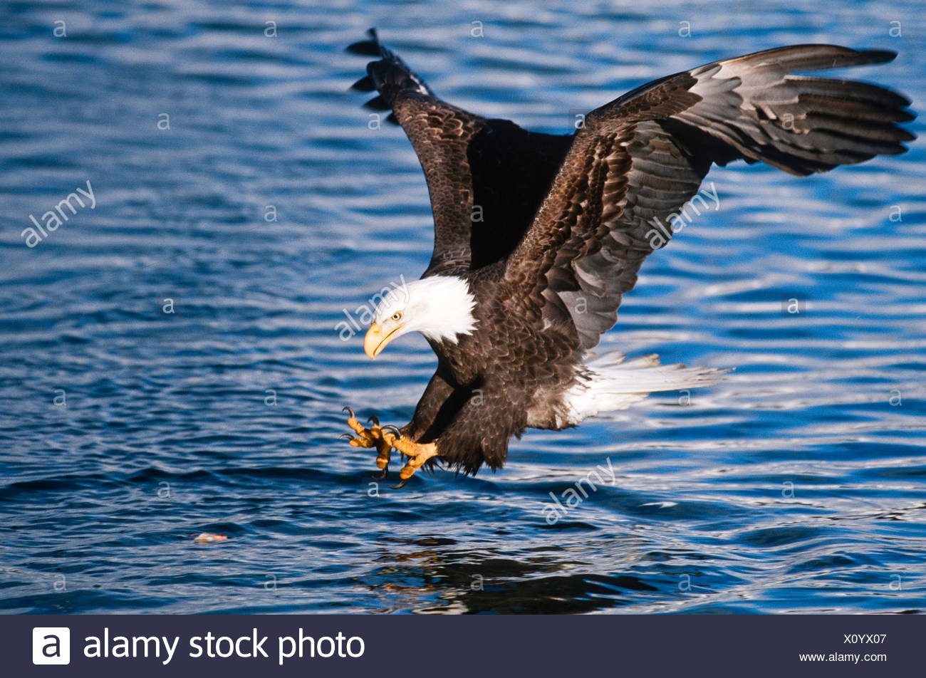 Alaska. Bald Eagle fishing with talons outstretched. - Stock Image