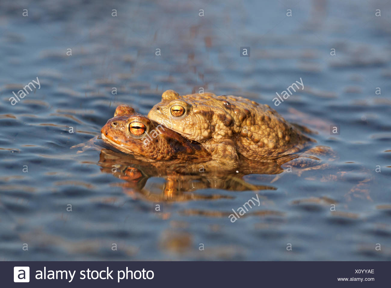 photo of a pair of common toads between frog spawn - Stock Image