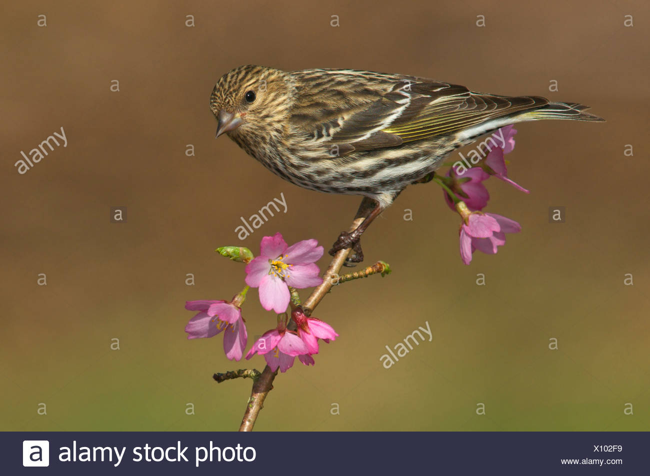 Pine siskin (Carduelis pinus) perched on flowering plum branch in Victoria, Vancouver Island, British Columbia, Canada - Stock Image