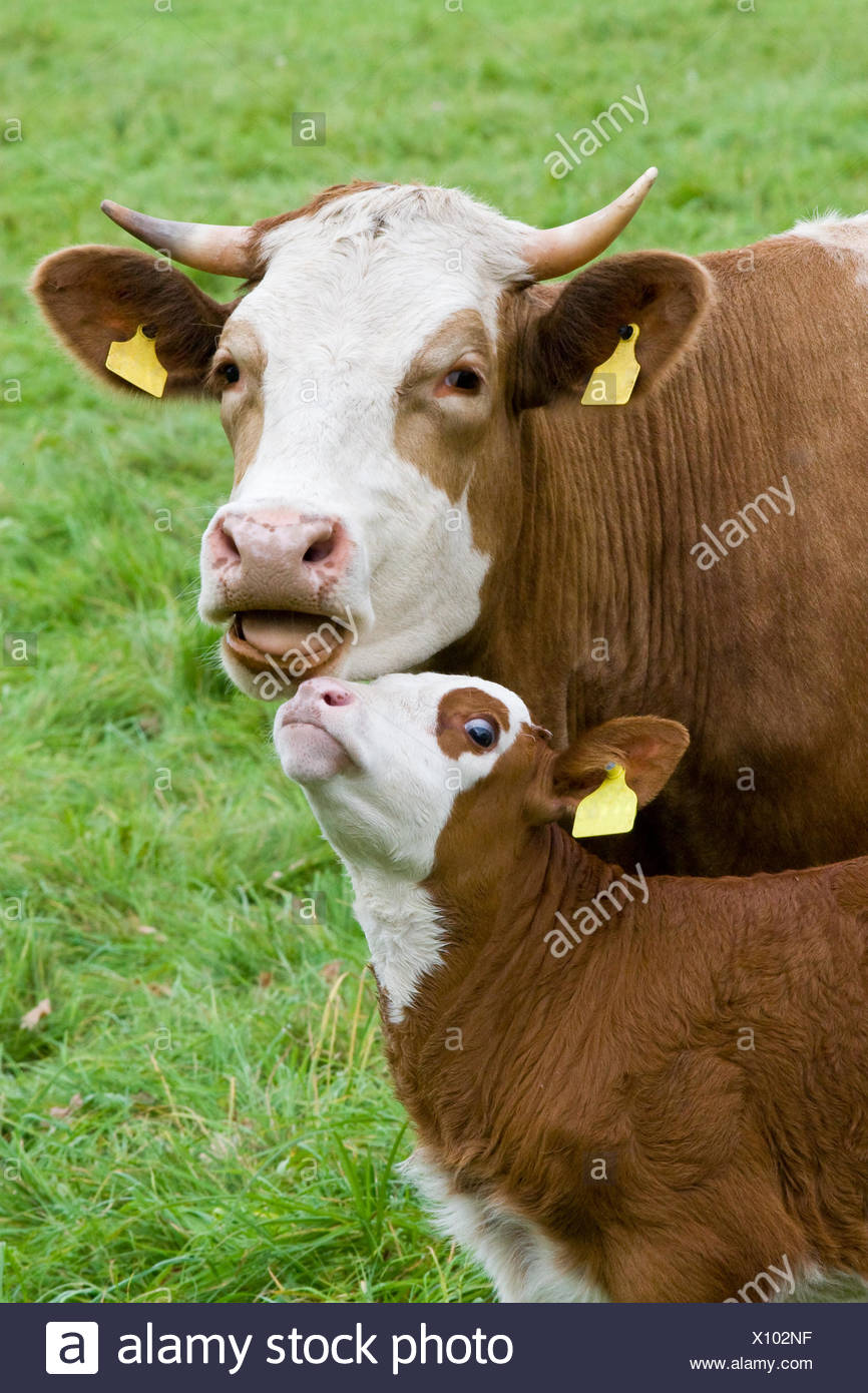 cow motherly love calf animal animals breeding cow bovine smooch cows waist belt motherly love farm animal calf ruminant cattle - Stock Image