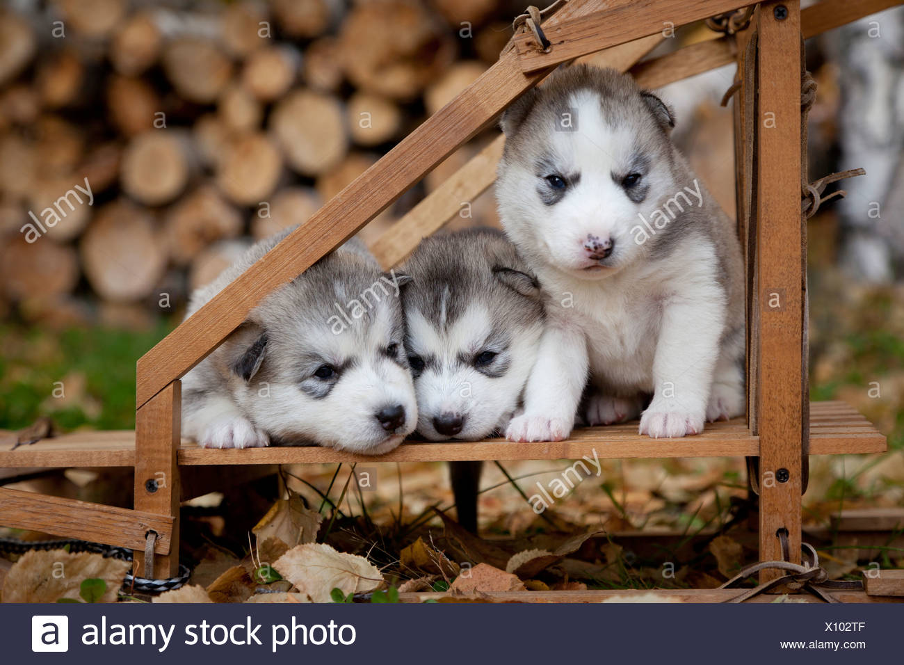 Pure-bred Siberian Husky puppies in small wooden dog sled, Alaska - Stock Image