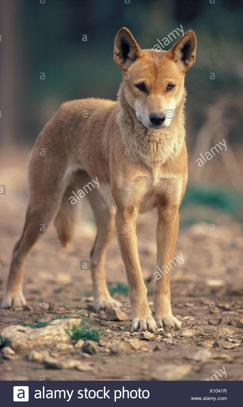 DINGO canis familiaris dingo, ADULT - Stock Image