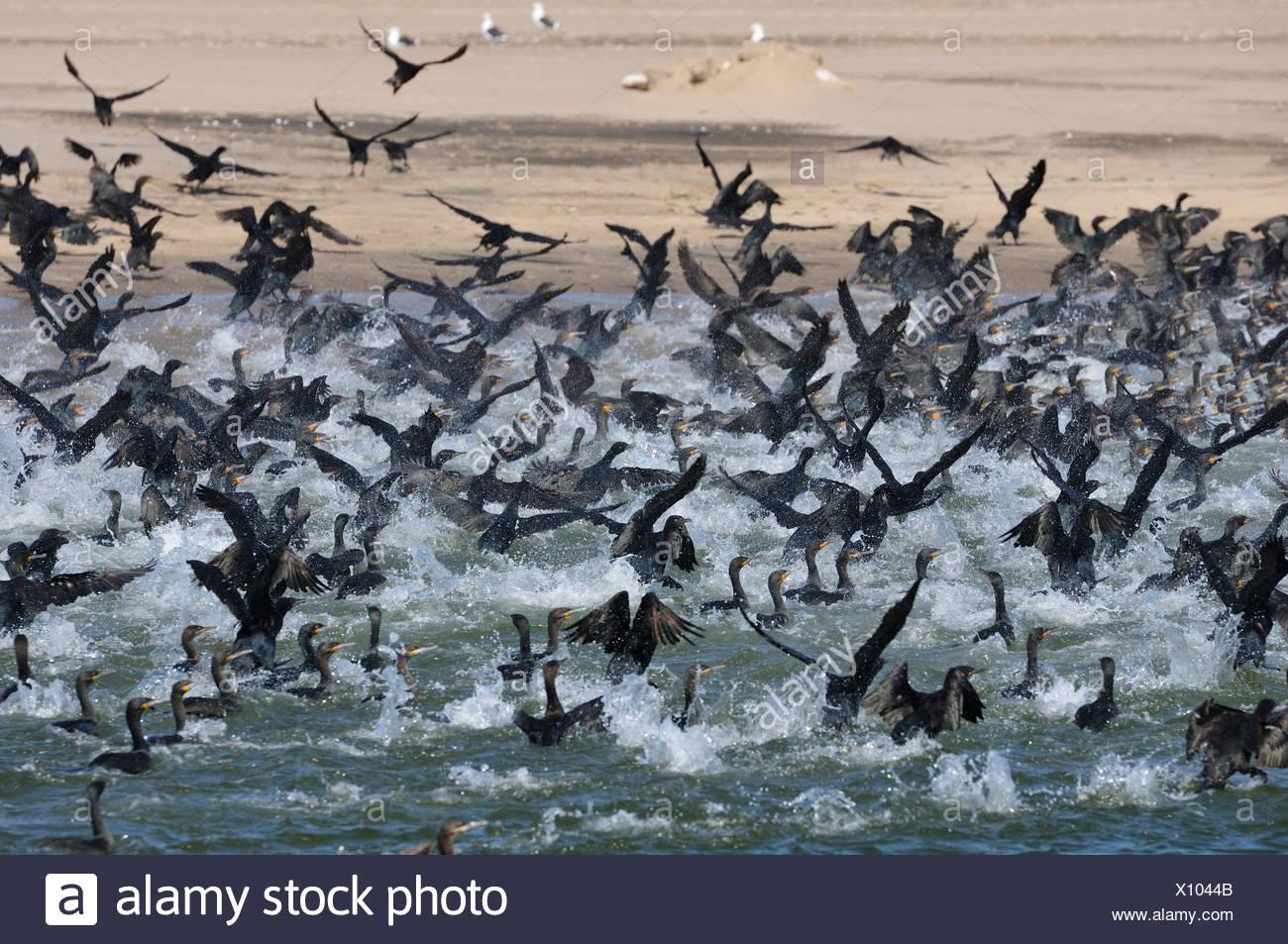 Africa, Namibia, Walvis Bay, Cormorants, Colony, birds, swarm, - Stock Image