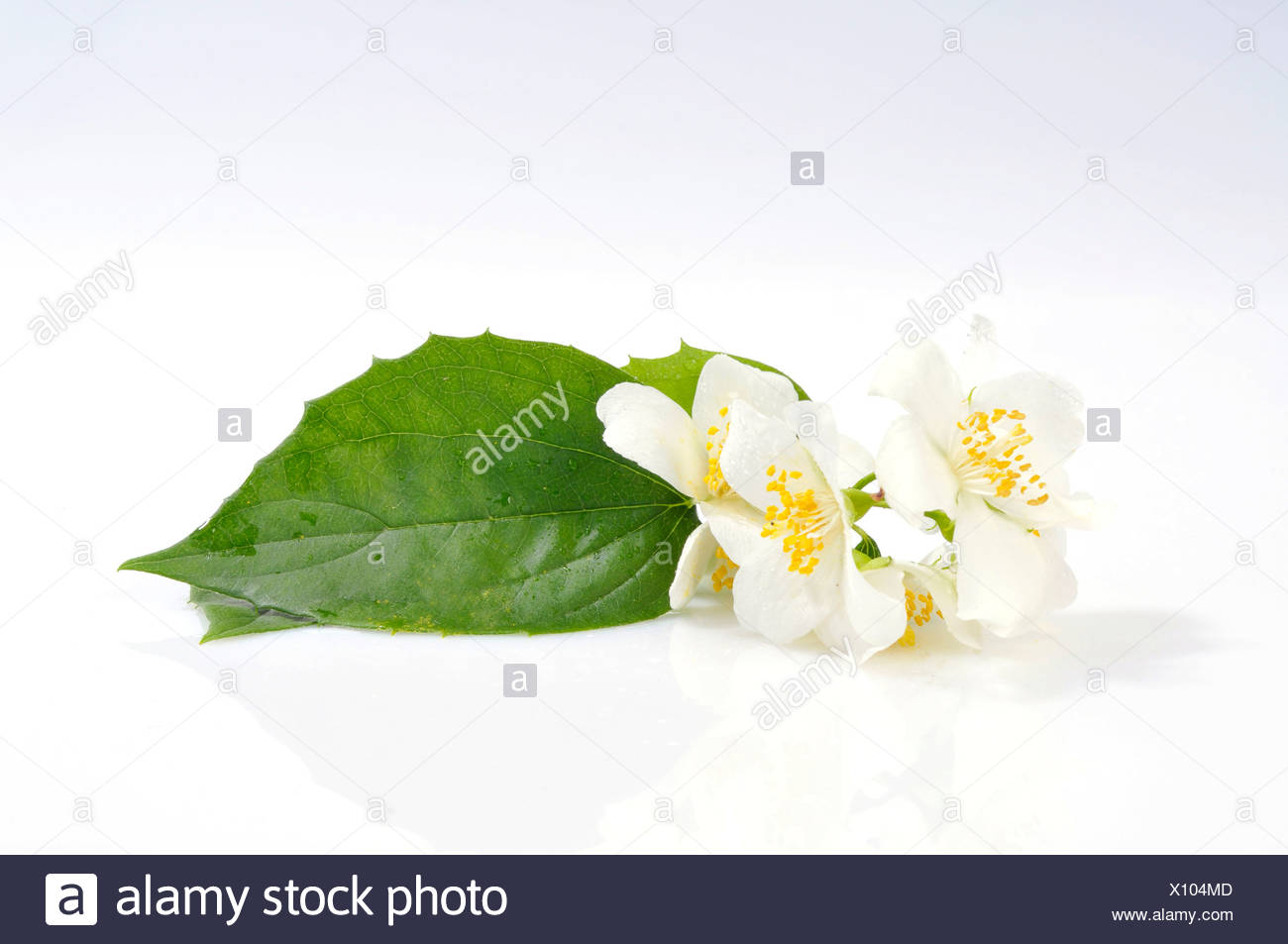 Common White Jasmine (Jasminum officinale), flowers and a leaf - Stock Image