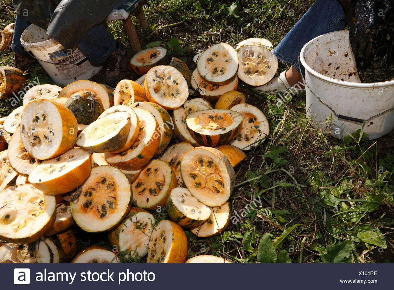 Harvesting of pumpkin seeds in Leutschach, Styria, Austria, Europe Stock Photo