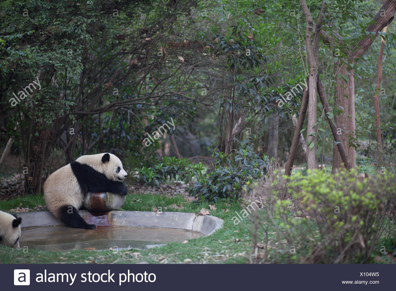 Pandas By The Pond Against Trees - Stock Image