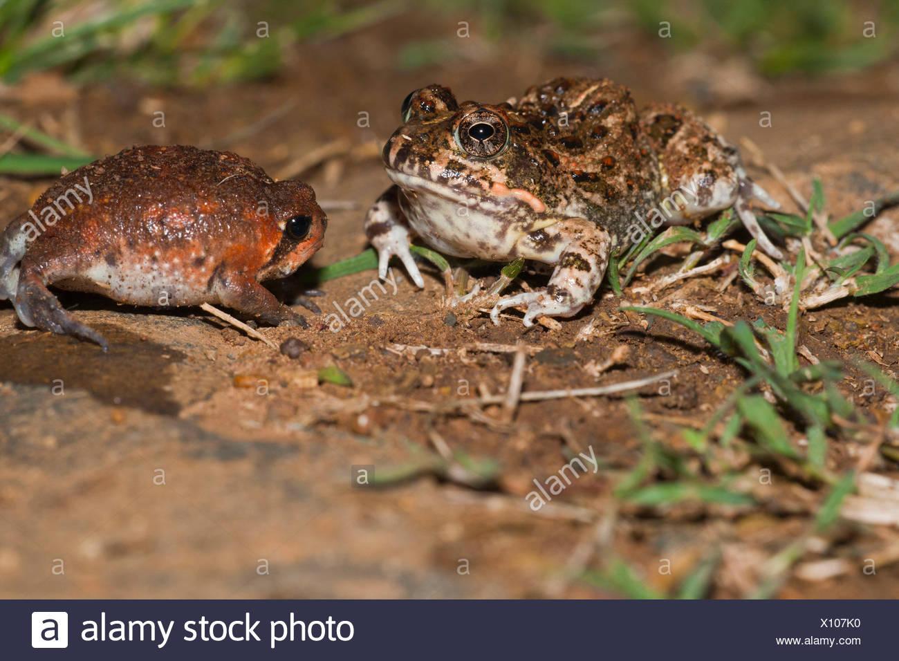 Tremolo Sand Frog, juvenile, and Bushveld Rain Frog, juvenile, blown up for defence, Hidden Valley, KwaZulu-Natal, South Africa / (Tomopterna cryptotus), (Breviceps adspersus) - Stock Image