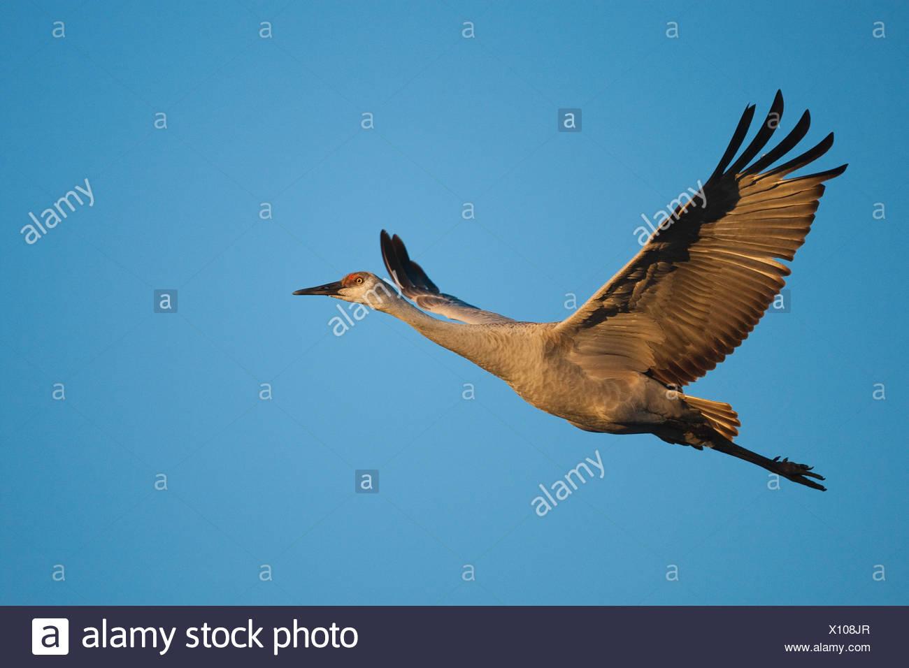 Sandhill Crane (Grus canadensis) adult in flight, Bosque del Apache National Wildlife Refuge , New Mexico, USA - Stock Image