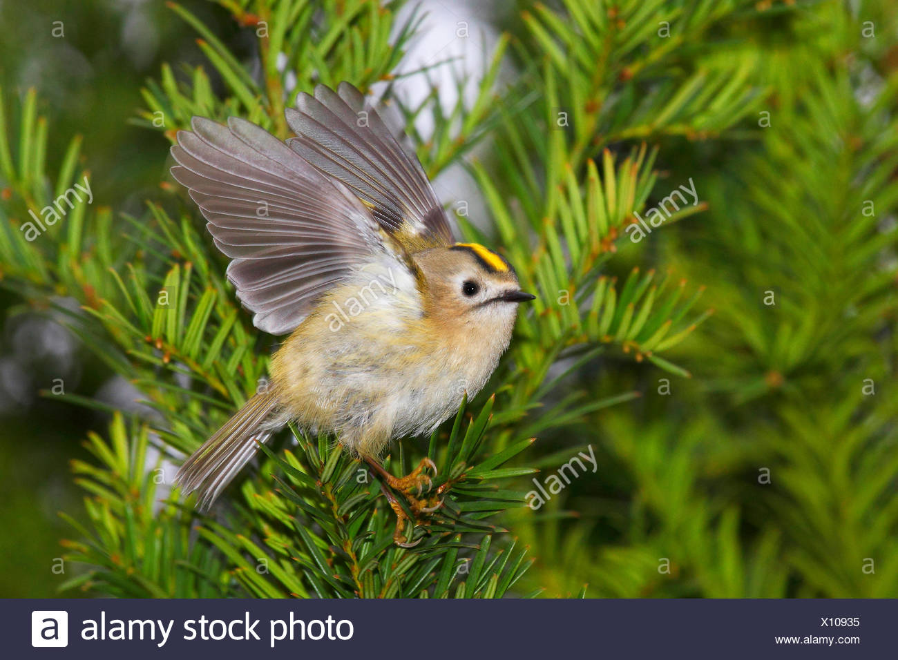 goldcrest (Regulus regulus), female on a yew branch, Germany - Stock Image