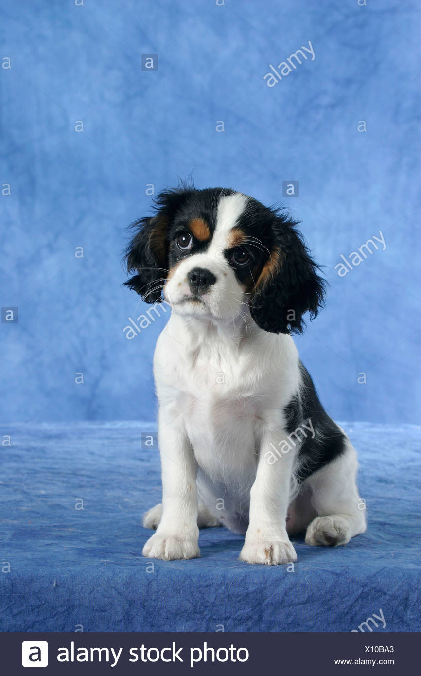 Cavalier King Charles Spaniel Puppy 11 Weeks Old Tricolor Stock Photo Alamy